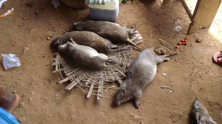 Greater Cane Rat, a traditional Igbo delicacy