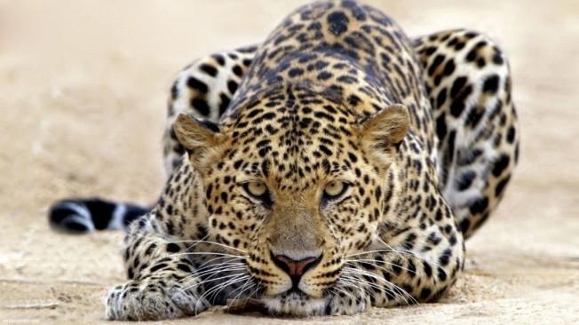 6907028-leopard-king
