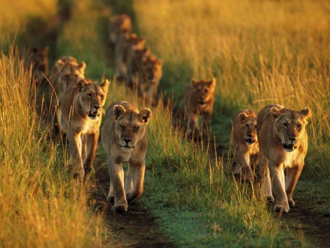 Pride-of-Lions-Masai-Mara-National-Reserve-Kenya